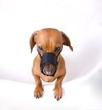 Il Dachshund in museruola è arrabbiato Fotografia Stock Libera da Diritti