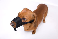 Il Dachshund in museruola è arrabbiato Fotografie Stock
