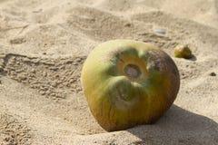 Il dado verde di un Coco si trova sulla sabbia della spiaggia Goa dell'India Fotografie Stock Libere da Diritti