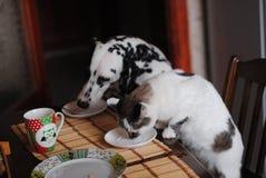Il dalmata lanuginoso bianco del cane e del gatto lecca i piatti sulla tavola Immagini Stock Libere da Diritti