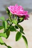 Il damasco rosa è aumentato Fotografia Stock Libera da Diritti