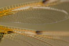 Il Damselfly traversa i particolari volando Fotografie Stock
