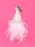 Il dancing elegante del cane ha isolato fotografia stock