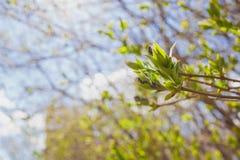 Il de molle ha messo a fuoco la struttura della molla dei rami di albero con le prime nuove foglie su  Fotografia Stock Libera da Diritti