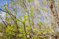 Il de molle ha messo a fuoco la struttura della molla dei rami di albero con le prime nuove foglie su  Fotografie Stock Libere da Diritti
