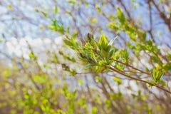 Il de molle ha messo a fuoco la struttura della molla dei rami di albero con le prime nuove foglie su  Fotografia Stock