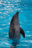 Il delfino che salta su Fotografie Stock Libere da Diritti