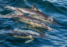 Il delfino comune A lungo con becco fotografia stock