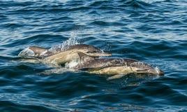 Il delfino comune A lungo con becco fotografia stock libera da diritti