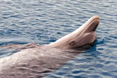 Il delfino di Bottlenose di Yong sta nuotando nel Mar Rosso fotografia stock