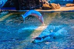 Il delfino a dorso d'asino Indo-pacifico sveglio (Sousa chinensis), o il rosa fa Fotografia Stock
