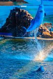 Il delfino a dorso d'asino Indo-pacifico sveglio (Sousa chinensis), o il rosa fa Immagine Stock Libera da Diritti