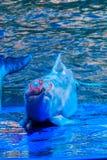 Il delfino a dorso d'asino Indo-pacifico sveglio (Sousa chinensis), o il rosa fa Fotografia Stock Libera da Diritti
