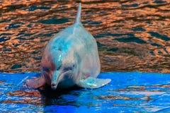 Il delfino a dorso d'asino Indo-pacifico sveglio (Sousa chinensis), o il rosa fa Immagini Stock