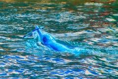 Il delfino a dorso d'asino Indo-pacifico sveglio Sousa chinensis, o il rosa fa Fotografia Stock Libera da Diritti