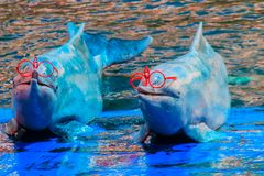 Il delfino a dorso d'asino Indo-pacifico sveglio Sousa chinensis, o il rosa fa Fotografie Stock Libere da Diritti