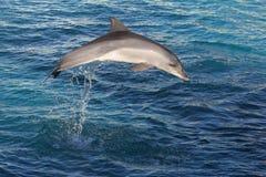 Il delfino salta Immagini Stock