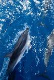 Il delfino salta Immagine Stock