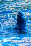 Il delfino sveglio di Irrawaddy (orcaella brevirostris) sta galleggiando in Th immagine stock