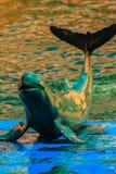Il delfino sveglio di Irrawaddy (orcaella brevirostris) sta galleggiando in Th fotografia stock