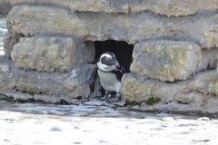 Il demersus africano dello Spheniscus del pinguino fotografie stock libere da diritti