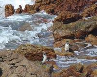 Il demersus africano dello Spheniscus del pinguino due sui massi tira vicino a Cape Town Sudafrica che gode dopo del giorno del s immagini stock