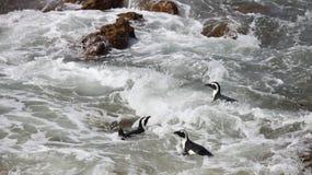 Il demersus africano dello Spheniscus del pinguino tre sui massi tira vicino a nuoto di Cape Town Sudafrica nella schiuma dell'ac fotografia stock