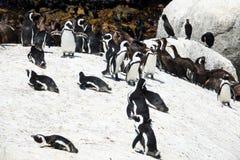 Il demersus dello Spheniscus dei pinguini e Phalacrocorax degli uccelli del cormorano del capo capensic ai massi tirano, il Sudaf fotografia stock