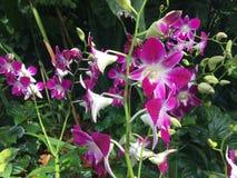 Il Dendrobium Sonia Orchidaceae fiorisce la foto di riserva immagini stock libere da diritti