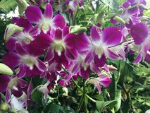 Il Dendrobium Sonia Orchidaceae fiorisce la foto di riserva fotografia stock libera da diritti