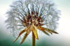 Il dente di leone fiorito in natura si sviluppa da erba verde fotografia stock