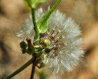 Il dente di leone fiorito in natura si sviluppa da erba verde fotografie stock libere da diritti
