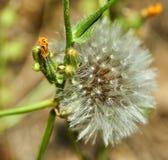 Il dente di leone fiorito in natura si sviluppa da erba verde immagine stock libera da diritti