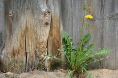 Il dente di leone ha fiorito fotografie stock libere da diritti