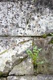 Il dente di leone ha germogliato nella profondità bassa di struttura della parete di pietra del fi Immagini Stock Libere da Diritti