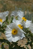 Il deserto fiorisce il papavero spinoso Fotografia Stock Libera da Diritti