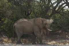 Il deserto ha adattato il toro dell'elefante Fotografia Stock
