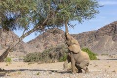 Il deserto ha adattato l'elefante che raggiunge per un'alimentazione Fotografie Stock Libere da Diritti