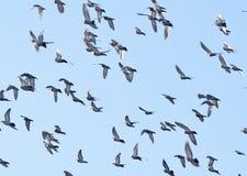 Il dettaglio del cielo con i piccioni Immagine Stock Libera da Diritti