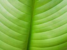Il dettaglio della foglia della banana, il suo colore verde intenso sta ipnotizzando immagine stock libera da diritti