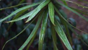 Il dettaglio di pioggia che cade sulle foglie verdi, una brezza molle ha mescolato il movimento lento di caduta delle gocce di pi stock footage