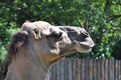 Il dettaglio di vecchia testa del cammello nel giardino dello zoo immagine stock