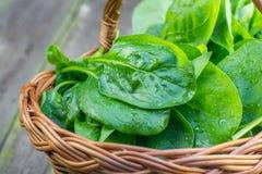 Il dettaglio sugli spinaci freschi lascia in un canestro di vimini Immagine Stock Libera da Diritti