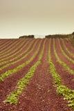 Il Devon che coltiva sul terreno rosso Immagine Stock