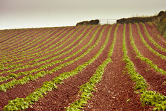Il Devon che coltiva sul terreno rosso Fotografia Stock
