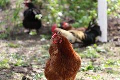 Il ¡ di Ð hicken nel giardino Fotografia Stock Libera da Diritti