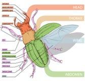 Il diagramma dello scarabeo d'istruzione Illustrati realistico di vettore Immagine Stock