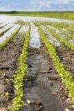 Il disastro agricolo, campo della soia sommersa pota Immagine Stock