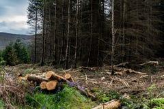 ? il disboscamento Bugia dei pini del Carvel sul diagramma Legname che raccoglie nella foresta di conifere immagine stock