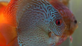 Il disco rosso e giallo blu del Pompadour pesca il nuoto in acquario d'acqua dolce sulle bolle blury fondo, dal lato stock footage